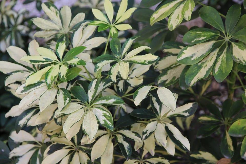 Las hojas de la cheflera pueden ser verdes o variegadas