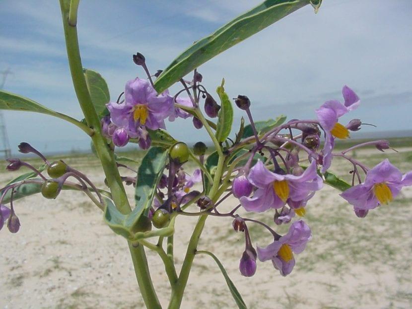 Solanum malacoxylon, una hierba