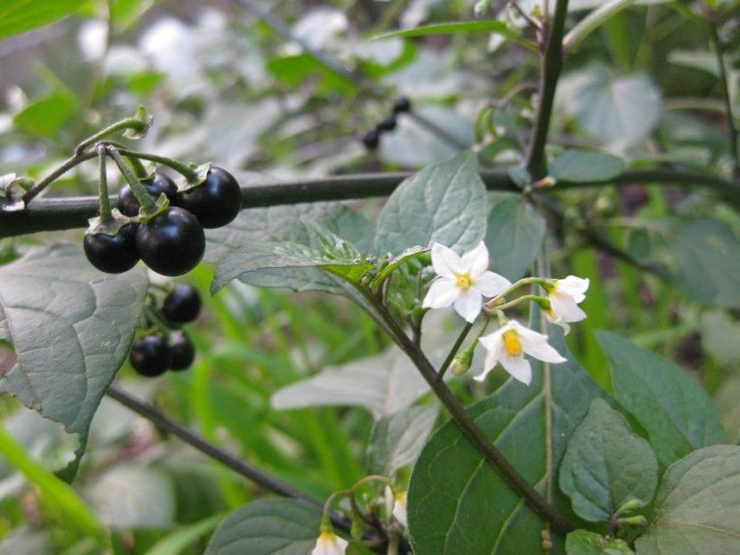 Vista del Solanum nigrum