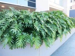 terraza llena de hojas grandes de la planta Philodendron xanadu
