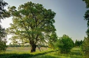 El olmo blanco es un árbol muy grande