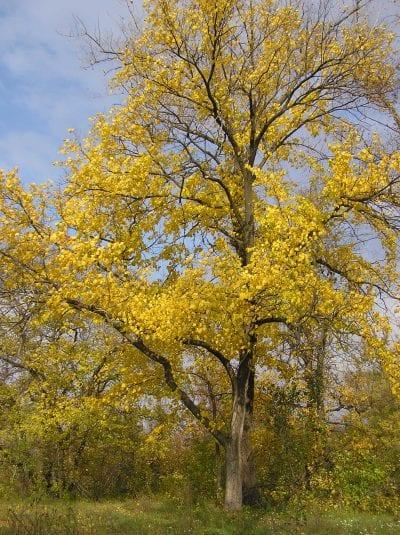El olmo blanco se vuelve amarillo en otoño