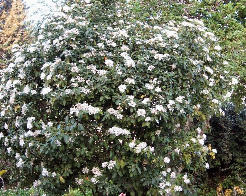 El durillo es un arbusto de flores preciosas