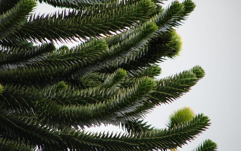 Vista de las hojas de la Araucaria auracana