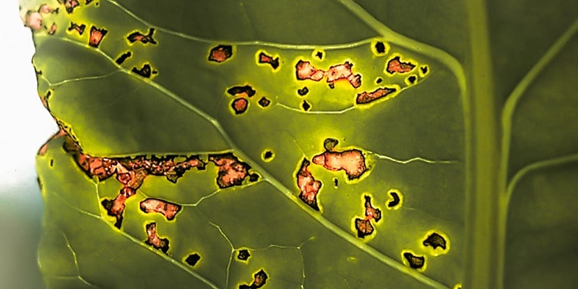 Cómo afecta la enfermedad a la planta