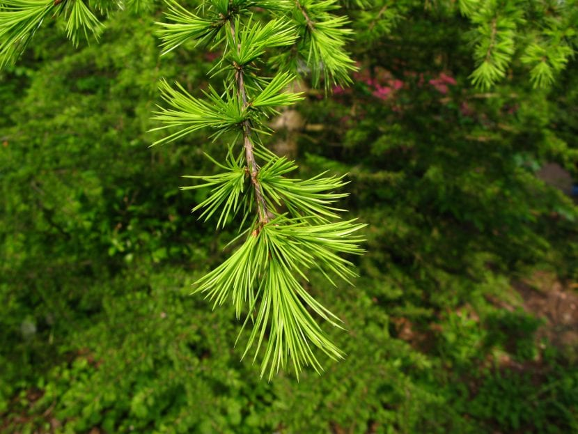El cedro del Líbano tiene hojas perennes