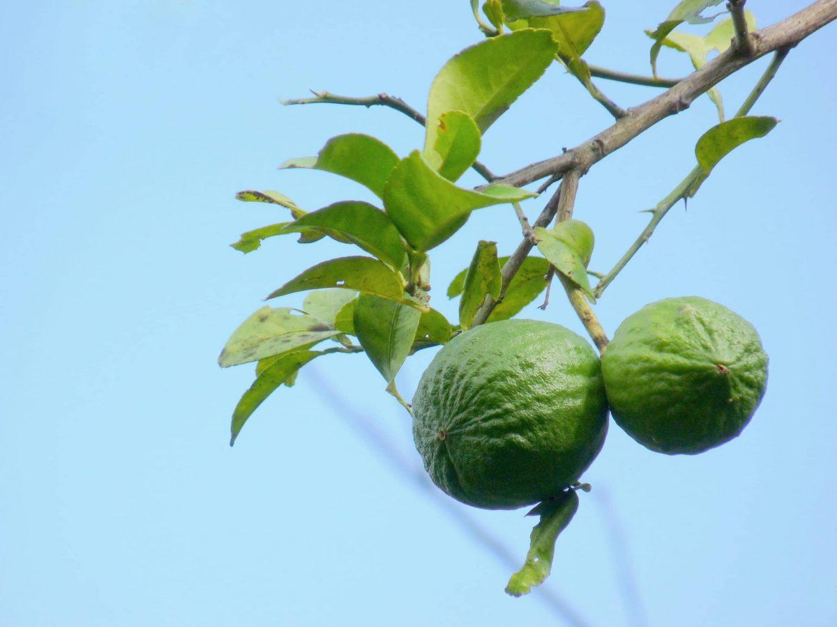 La lima es un árbol que crece en suelos calizos