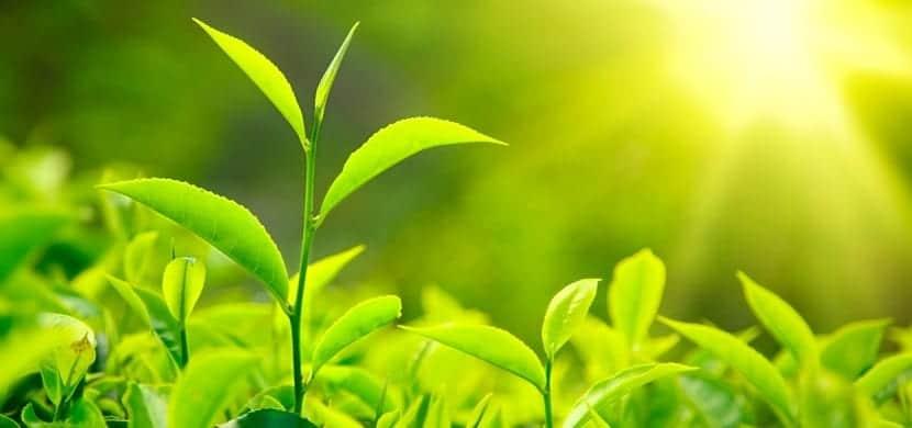 Fotosíntesis en plantas