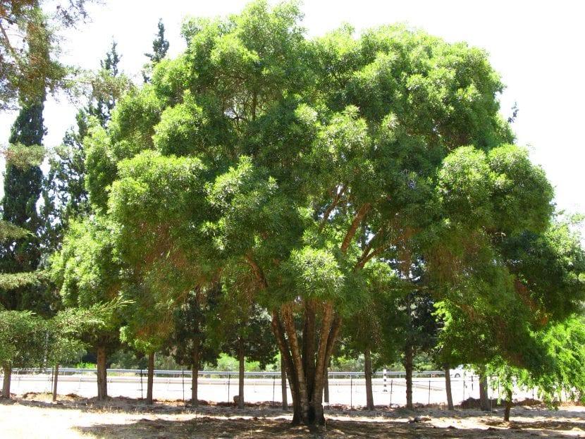 Fraxinus angustifolia adulto en un jardín