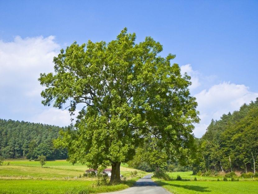 El Fraxinus excelsior es un árbol decorativo