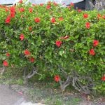 El hibisco rosa de China es un arbusto muy florífero