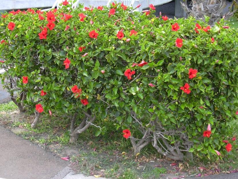 Hibiscus rosa sinensis o rosa de China, un arbusto de jardín