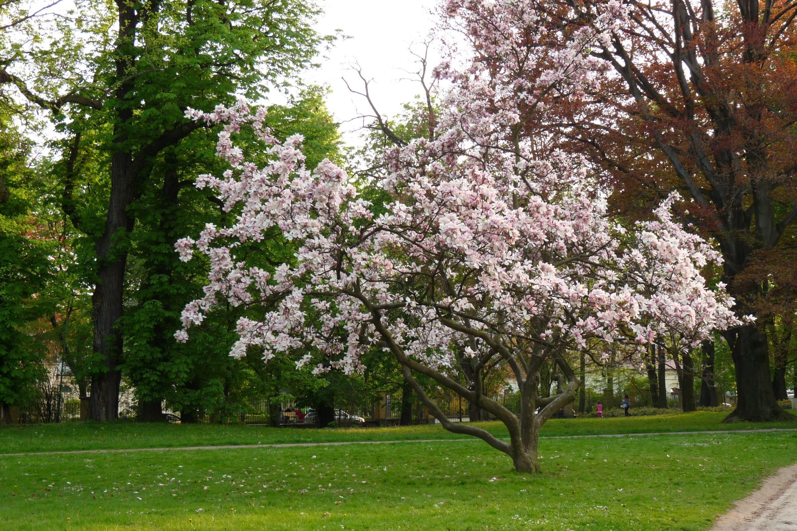 Vista de la Magnolia soulangeana en un parque