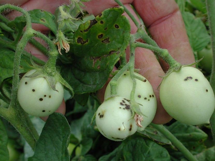 Marchitez por enfermedad bacteriana en planta