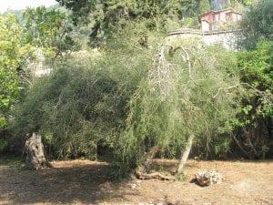 La Melaleuca alternifolia es un arbolito