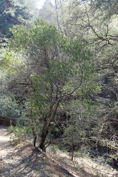 Phillyrea latifolia en hábitat
