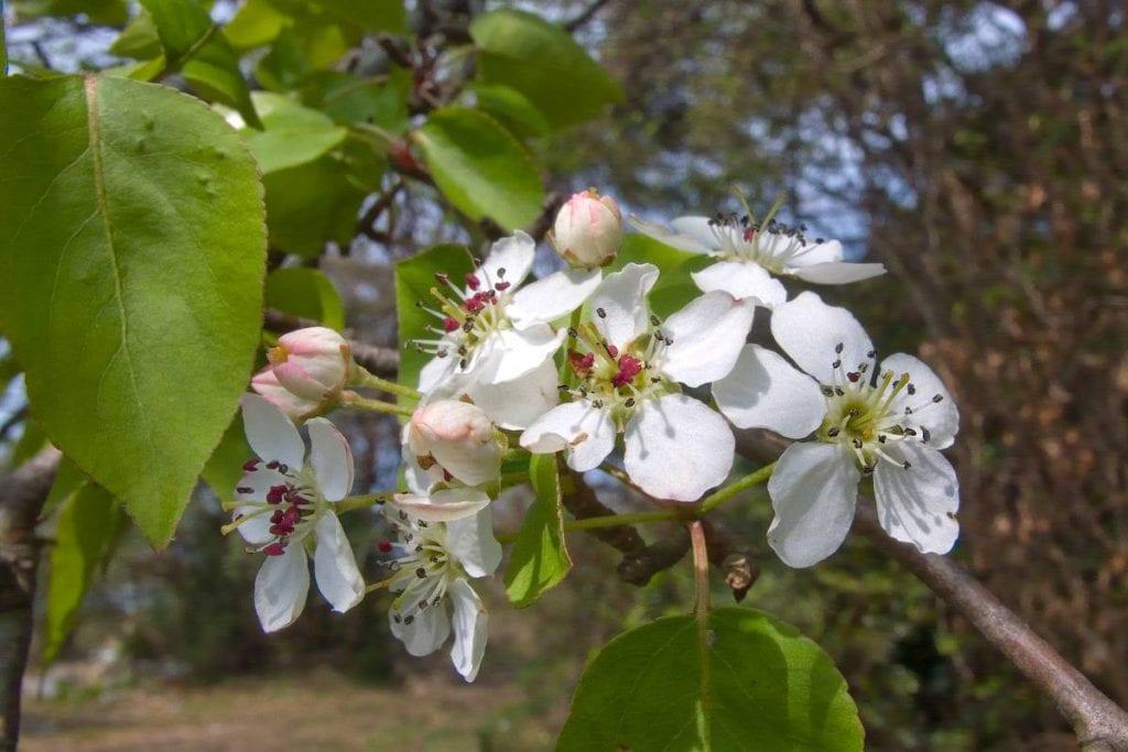 Las flores del Pyrus callyeriana son blancas
