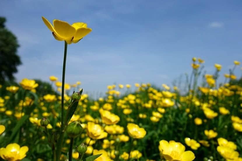 Ranunculus acris también llamado boton dorado