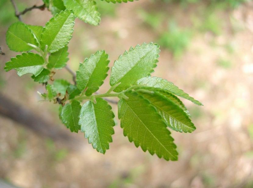 El olmo chino es un árbol caducifolio