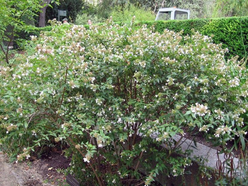 Abelia x grandiflora en un jardín