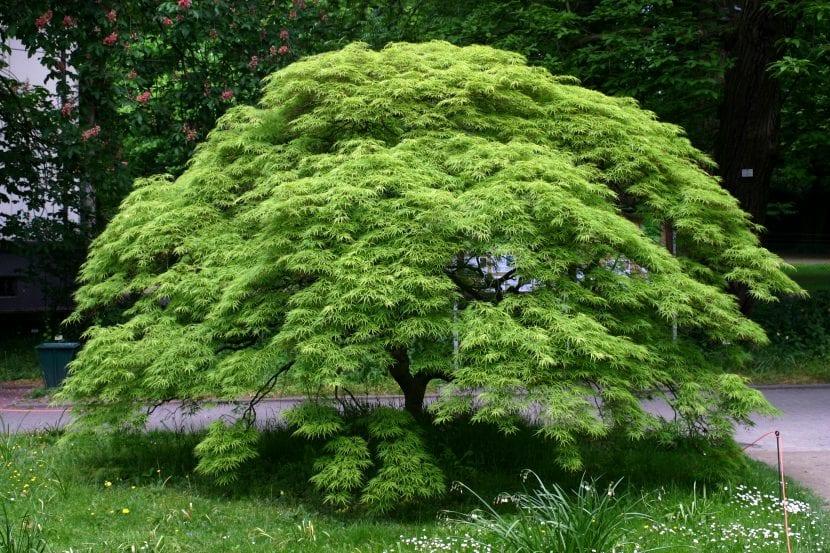 Arce japonés en un jardín
