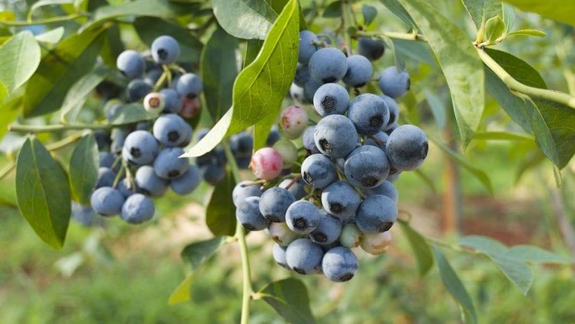 Arándano azul en la planta