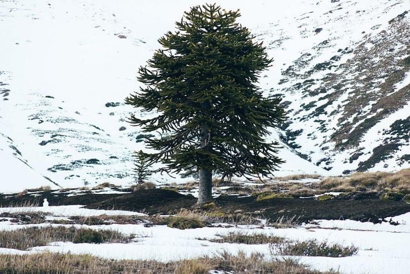 La Araucaria auracana es un árbol rústico