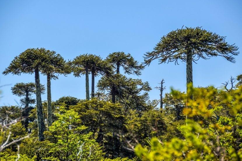 La Araucaria auracana es una conífera de lento crecimiento