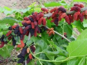 arbol con una especie de fruto parecido a las moras