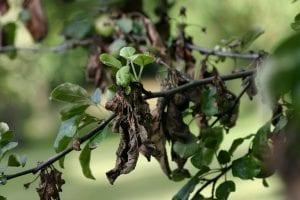 arbol cuyas ramas y hojas se encuentran oscurecidas por una plaga