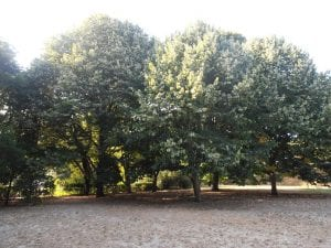arboles muy frondosos que dan mucha sombra