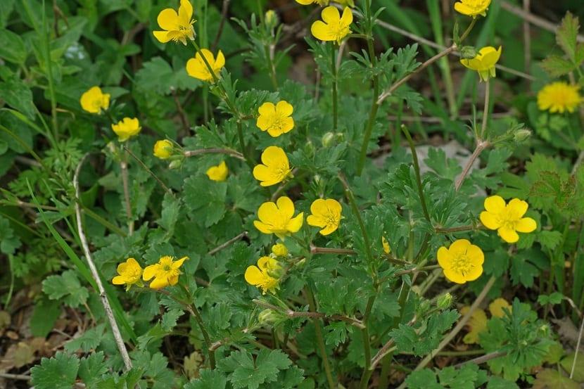arbusto con flores amarillas llamado Ranunculus bulbosus