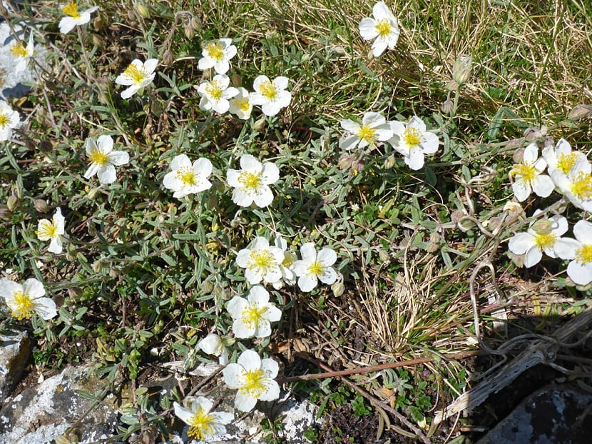 arbusto con pequnas florecillas de color blanco