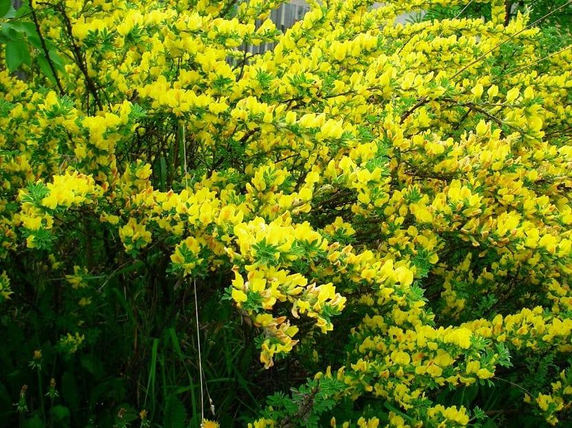 arbusto de tamano grande con flores amarillas