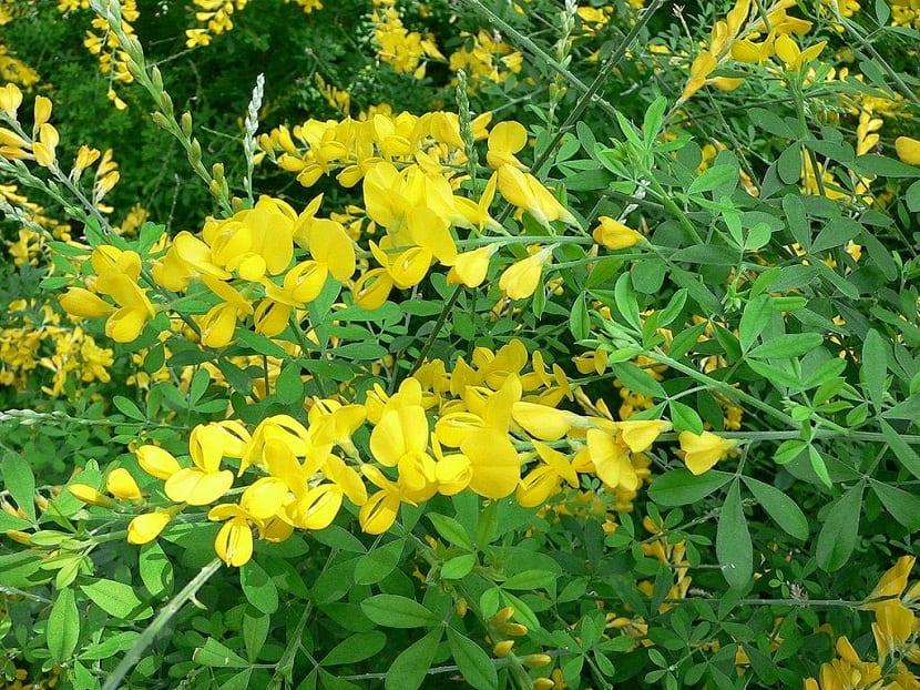 arbusto ornamental con flores amarillas