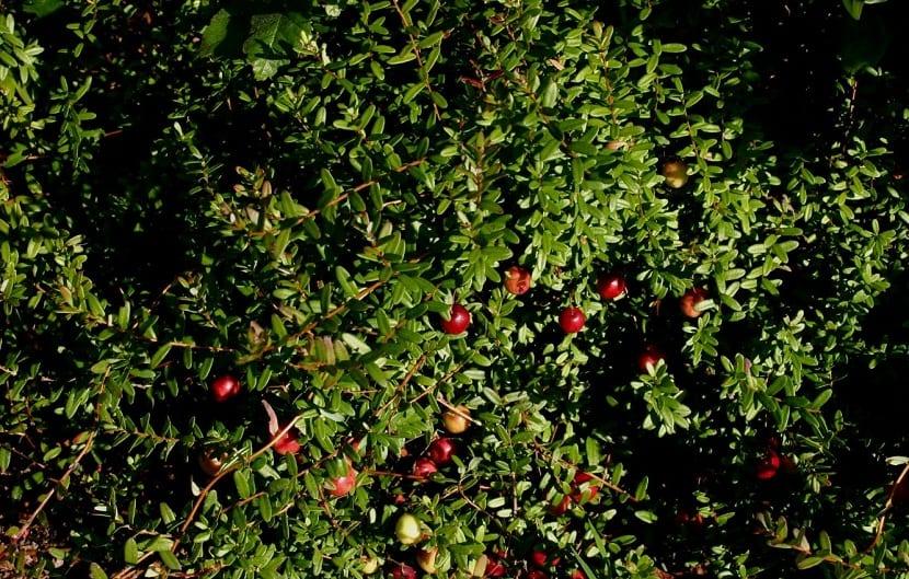 arbusto verde con pequenas frutillas de color rojo
