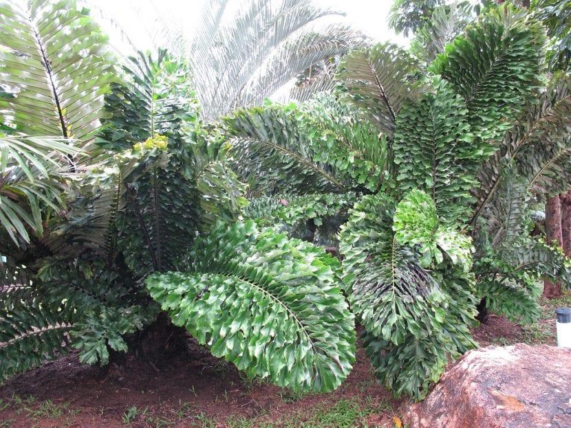 Vista de la Arenga undulatifolia
