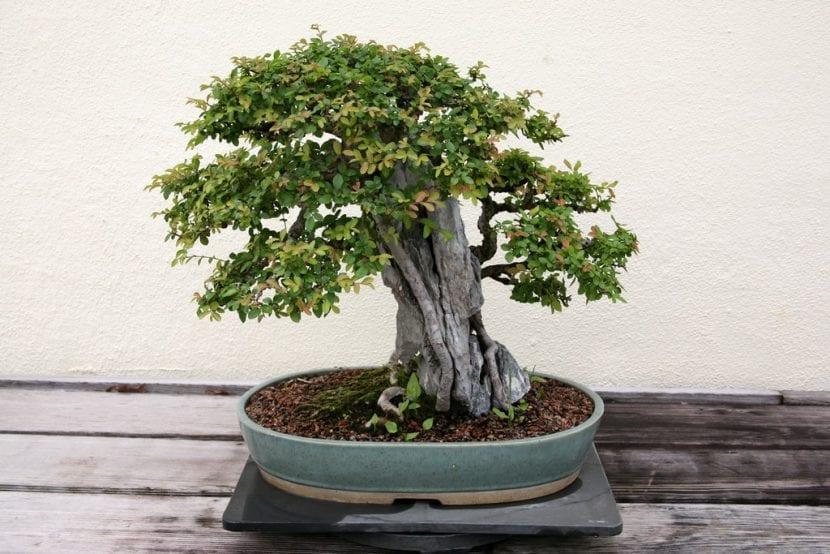 Vista de un bonsái de olmo chino