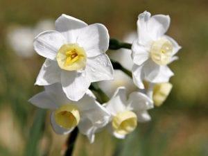 bulbos de planta llamada junquillo blanco