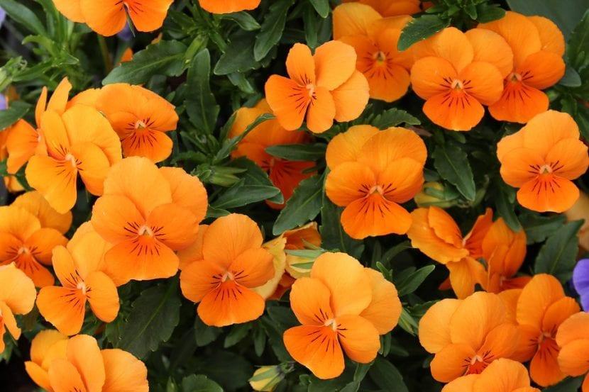 Capcuhinas de flor naranja