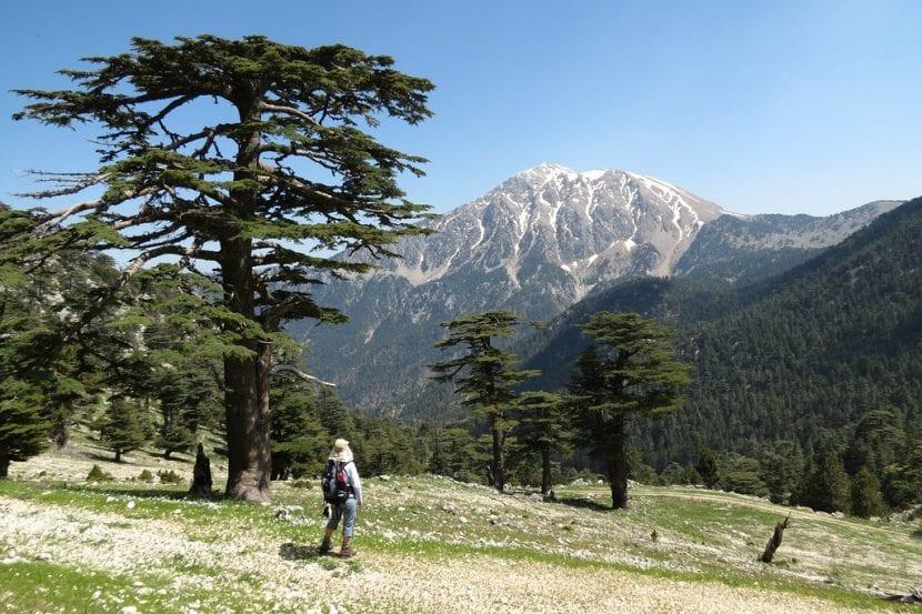 Cedro del Líbano en su hábitat
