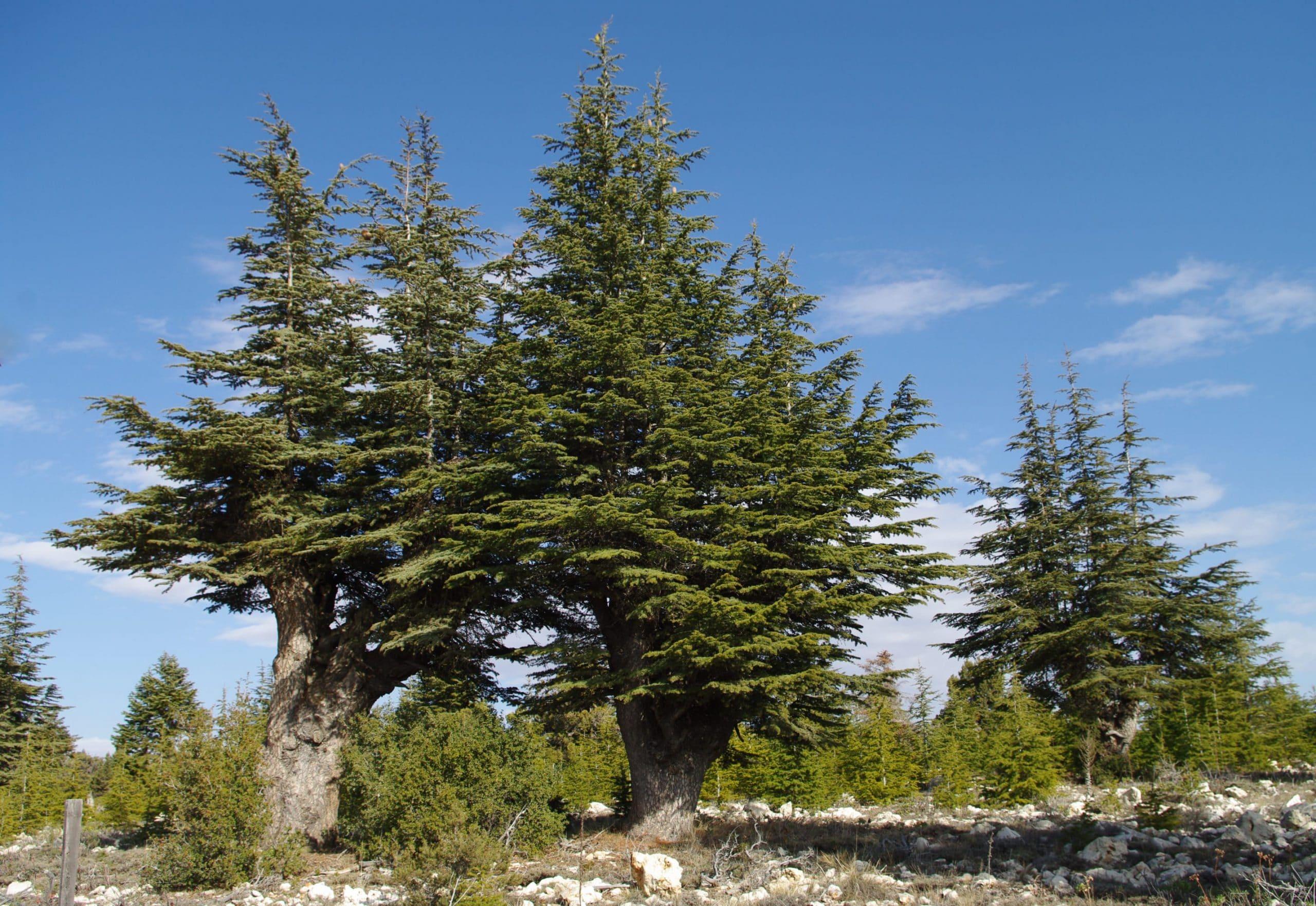 El Cedrus libani es una conífera