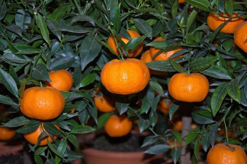 Vista del Citrus reticulata