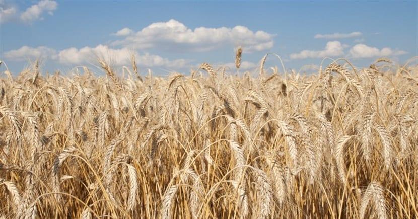 cultivo de cebada