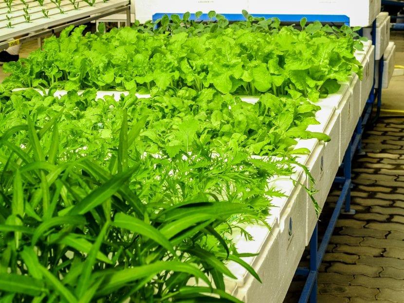 La hidroponía es un sistema de cultivo en el que se previenen las enfermedades fácilmente