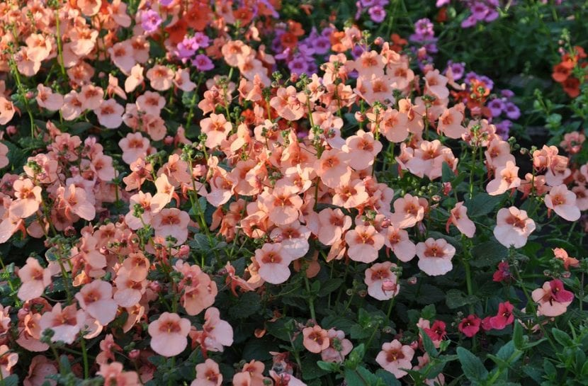 Diascia en flor