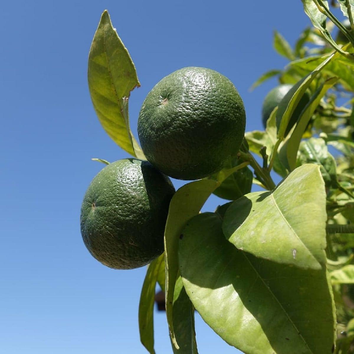 La lima es un frutal con distintos usos