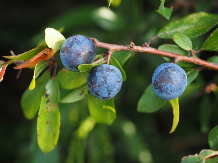 Las endrinas son frutas comestibles