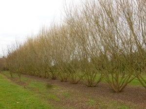 fila de arbustos o pequenos arboles