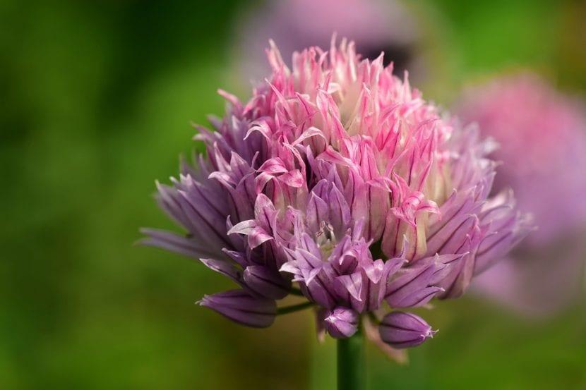 La flor del cebollino es rosa